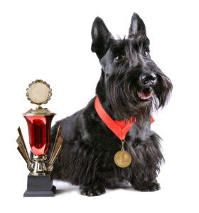 Scotch terrier with gold medal and winner cup on a white background