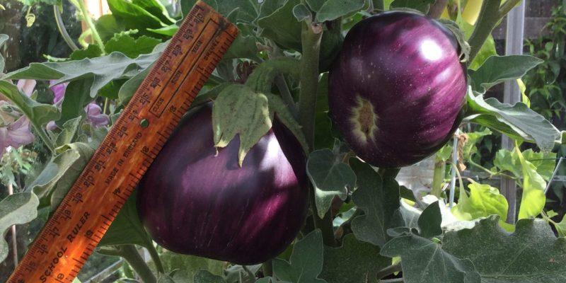 An Unusual Vegetable Black Beauty Aubergine EVS-06