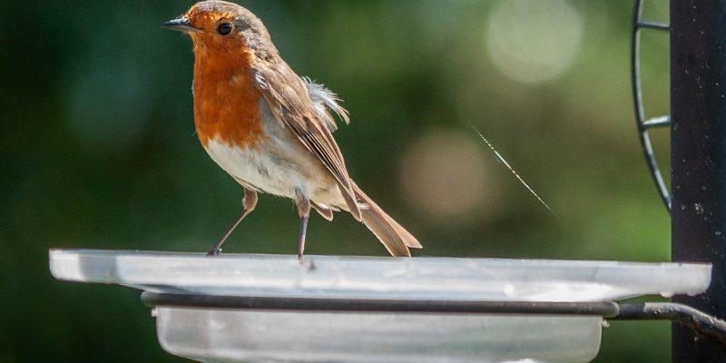 Robin on the Bird Table EVS-08
